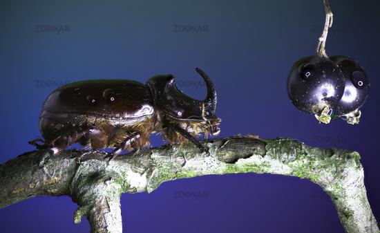 European rhinoceros beetle - Oryctes nasicornis (Linnaeus, 1758) and Blackcurrant - Ribes nigrum (Li
