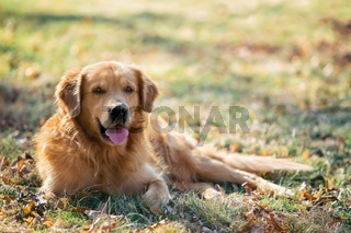 Golden retriever on park
