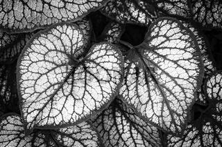 Silbriges Kaukasus-Vergissmeinnicht (Brunnera macrophylla) in schwarzweiß