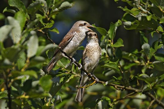red-backed shrike – female with squab