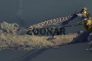 Hecht, der schwerste Fisch wurde 1983 in Deutschland gefangen und wog 31kg bei einer Länge von 147cm