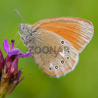 Großes Wiesenvögelchen (Coenonympha tullia) - Large Heath (Coenonympha tullia)