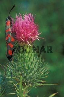 Gemeines Blutstroepfchen, Sechsfleck-Widderchen, Zygaena filipendulae, Six-spot Burnet