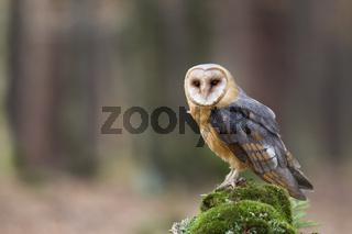 Schleiereule, Tyto alba, barn owl