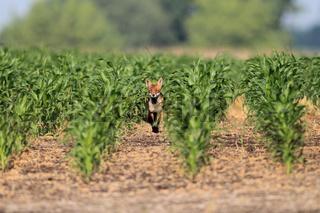 Fuchs im Maisfeld