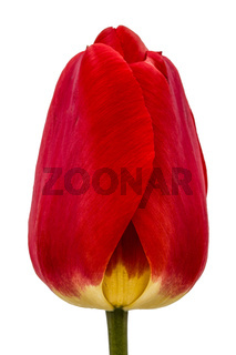 Flower of red tulip close-up, isolated on white background