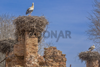 White Storks (Ciconia ciconia) On Their Nests Cellah Fortress Rabat Morocco