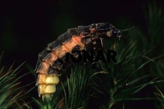 Gluehwuermchen, Leuchtkaefer, Lampyridae, Firefly