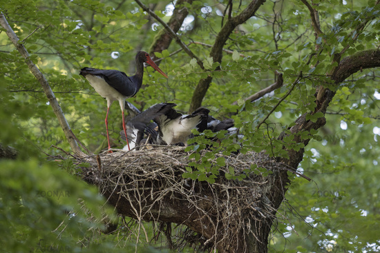 feeding its chicks... Black Stork *Ciconia nigra* adult perched on nest while feeding its offspring