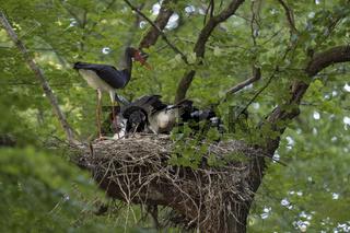 bei der Fütterung... Schwarzstorch *Ciconia nigra*, Altvogel füttert Nachwuchs