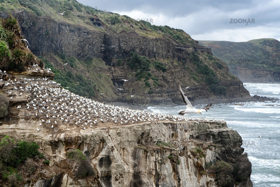 Adult gannets sitting on cliff of Pacific Ocean with waves in background