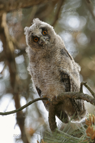 just funny... Long-eared Owl *Asio otus*