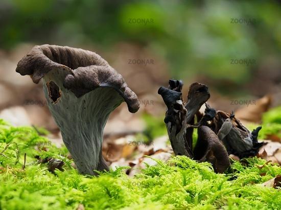 Horn of plenty, black chanterelle,