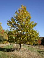 Autumn landscape oak