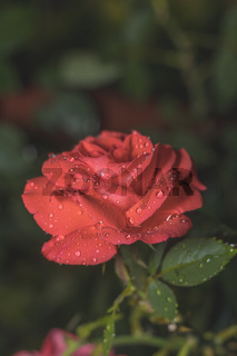 One beautiful red coral rose on green branch with water drops on plain green dark background. Artistic image of colorful flower for greeting cards.