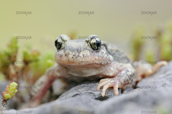 beautiful eyes... Common Midwife Toad *Alytes obstetricans*