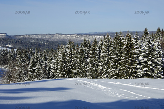 Snow-covered spruce forest in the Jura Mountains