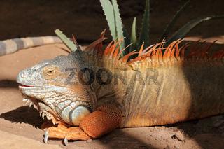 Die Leguane