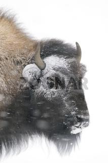 sturmerprobt... Amerikanischer Bison *Bison bison*