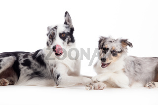 2  blue merle dogs on white