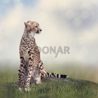 Cheetah sitting on a hill