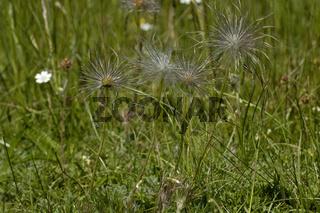 Gemeine Küchenschelle (Pulsatilla vulgaris) Pasque Flower