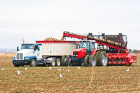 A large tractor and semi-truck loading beets