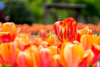 Orange yellow tulip