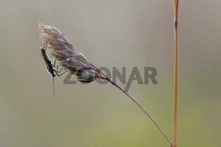 Graswanze, Leptoterna dolobrata, Meadow plant bug