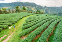 Tourist women on green tea plantation