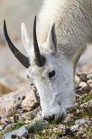 Mountain goat eat