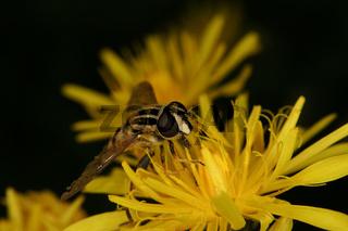 Sumpfschwebfliege (Helophilus trivittatus) / European hoverfly (Helophilus trivittatus)
