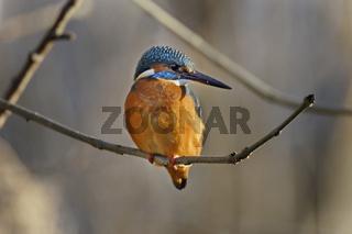 Eisvogel, Alcedo atthis, common kingfisher
