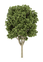 common ash tree isolated on white background