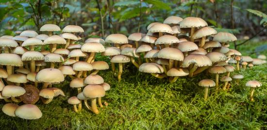 Honey fungus, Armillaria