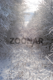 Sun through snow covered trees