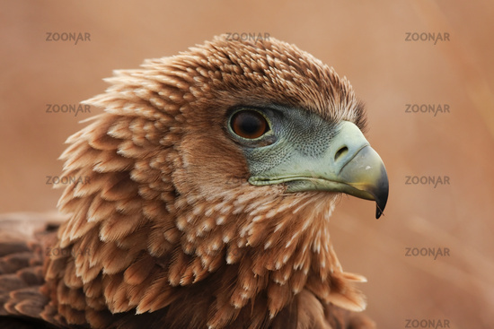 Tawny Eagle-Portrait-South Africa