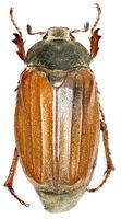 Cockchafer, Melolontha melolontha