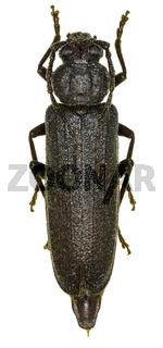 Dusky Longhorn Beetle on white Background  -  Arhopalus rusticus (Linnaeus, 1758)