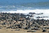 Kolonie suedafrikanischer Seebaeren