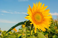 A sunflower in a field against a blue sky