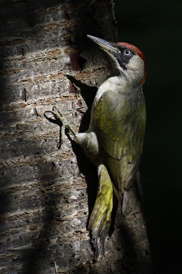 light and shadows in the woods... Green Woodpecker *Picus viridis*
