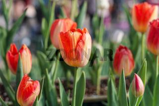 orange tulip in garden