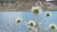 Still life of a prickly flower in front of a reservoir, Anatolia, Turkey