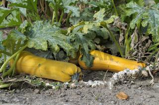 große, gelbe Zucchini wachsen an Pflanze heran