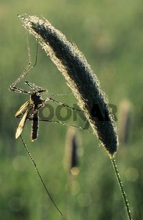 Kohlschnake, Tipula oleracea, Crane-fly