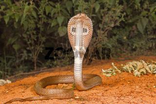 Spectacled cobra, Naja naja, Bangalore, Karnataka