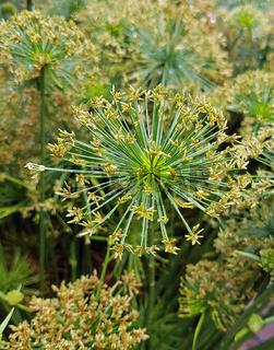 Zypergras, Cyperus haspan, Wasserpflanze