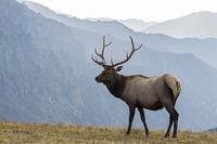 Bull wapiti in front of mountians