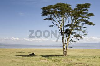 Buffalo and Tree